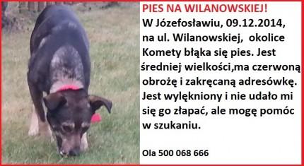 Błąkający się pies na Wilanowskiej w Józefosłąwiu - 20141209_094846 — kopia.jpg