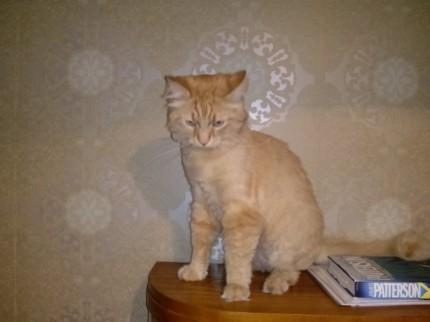 Zaginął jasno rudy kotek! - leon.jpg