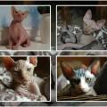 Kocięta sfinksy kanadyjskie do odbioru - koty1.jpg