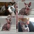 Kocięta sfinksy kanadyjskie do odbioru - koty2.jpg