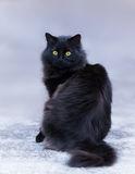 Zaginęła kotka Bazia! - czarny-długowłosy-kot-81121031.jpg