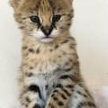 Serwal i Savannah, karakal Zarejestrowane kocięta - mon bb.jpeg