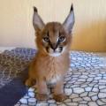 Serwal i Savannah, karakal Zarejestrowane kocięta - mon cherie.jpeg