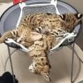 Serwal i Savannah, karakal Zarejestrowane kocięta - families loves.jpeg